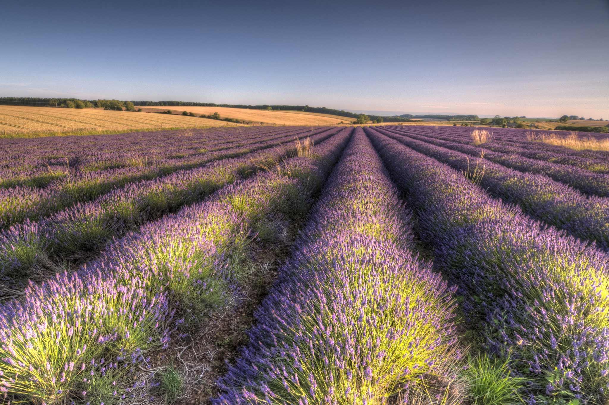 snowshill lavender的圖片搜尋結果