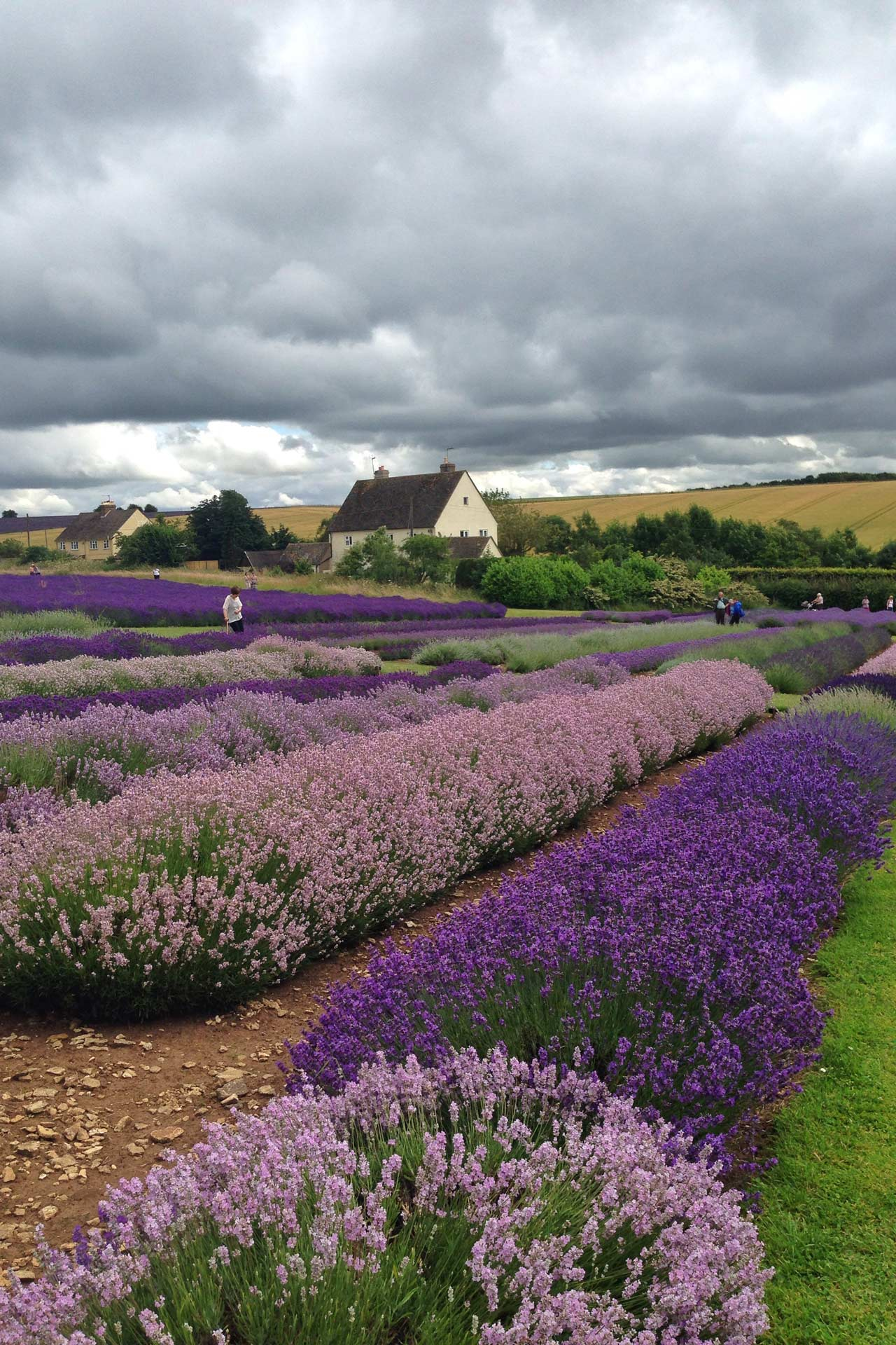 Snowshill Lavender Farm Things To See Do In Oxfordshire And